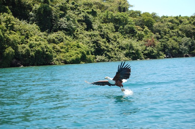Lake_Malawi_fish_eagle.jpg