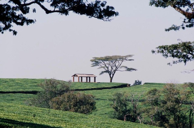Malawi_Tea_Estate.jpg